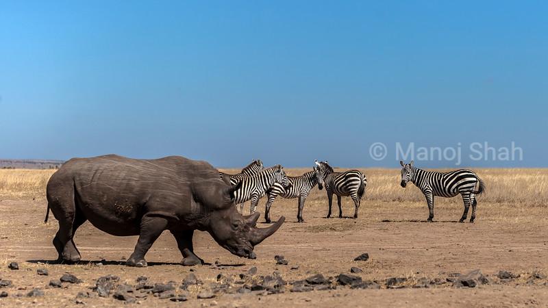 White rhino in laikipia with zebras nearby