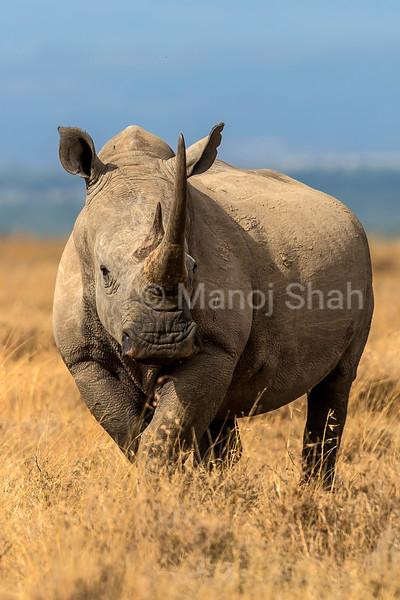 White rhinos  in Laikipis savanna, Kenya