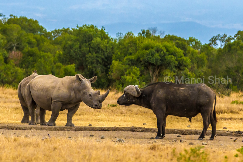 White rhino and African buffalo facing each other in Laikipia, Kenya