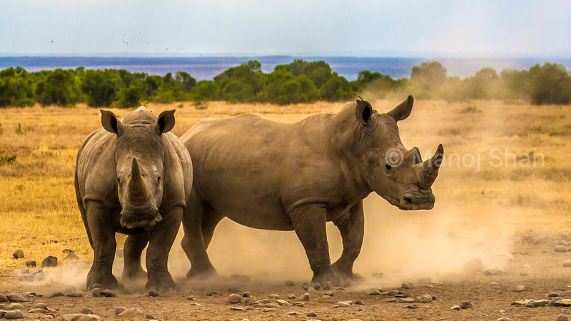 the white rhinos have felt the presence of the territorial male approaching in the Laikipia savannah.