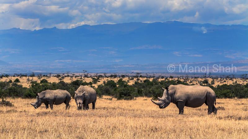White rhinos grazing in the Laikipia savanna, Kenya