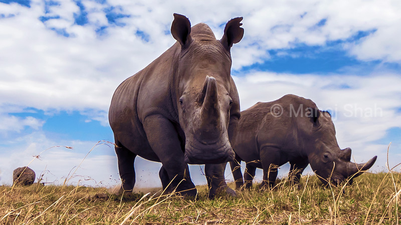 White rhinocerous grazing in Laikipia