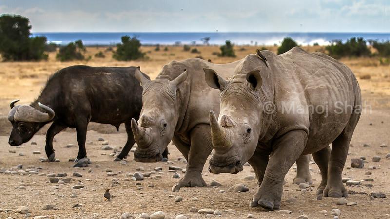 White rhinos and African buffalo in Laikipis savanna, Kenya
