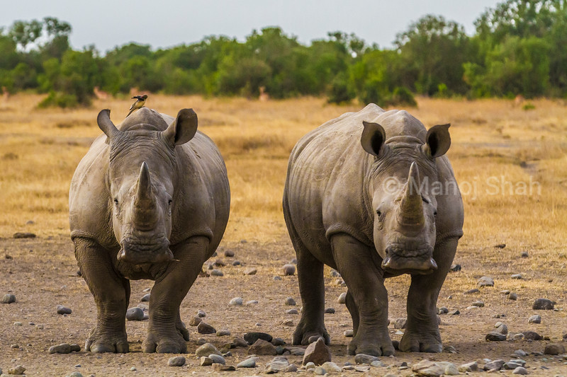 White rhinos looking at the photographer in Laikipia savanna.