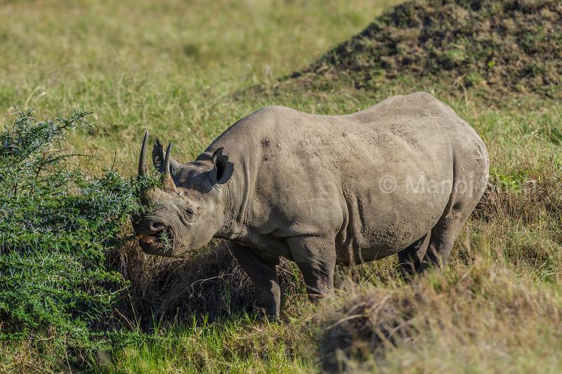Black rhino browsing Acacia leaves from an Acacia bush in Masai Mara.