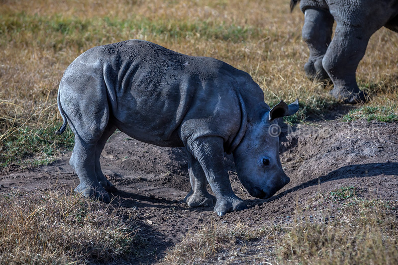 Rhino Baby smeeling the ground whilr mother stands nearby in Laikipia.