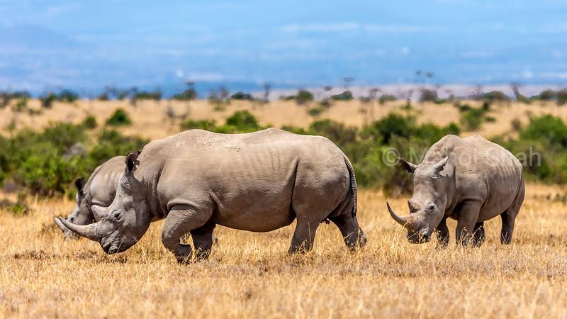 White rhinos grazing in Laikipia savanna, Kenya