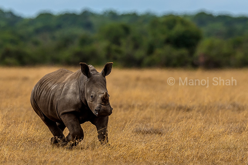Rhino Baby happily running to mother in Laikipia savanna