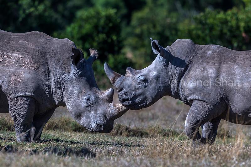 white rhinos ready to touch horns at laikipia savanna.