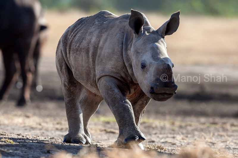 Black Rhino baby at a salt lik in Laikipia.
