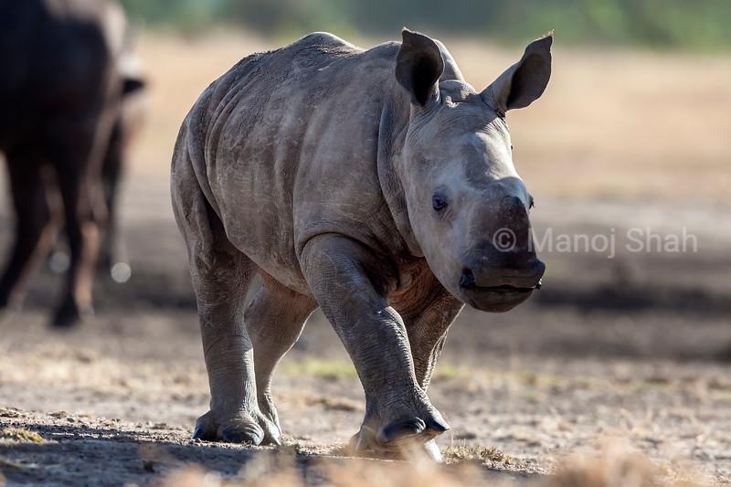 Black Rhino baby at a salt lik in Laikipia.