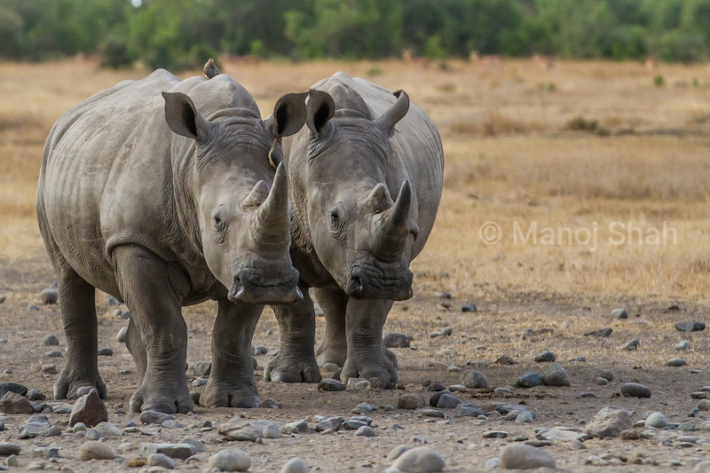 White rhinos  in Laikipia savanna, Kenya