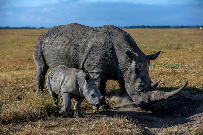 Black rhino mother with baby at a salt lick  in Ol Pejeta, laikipia.