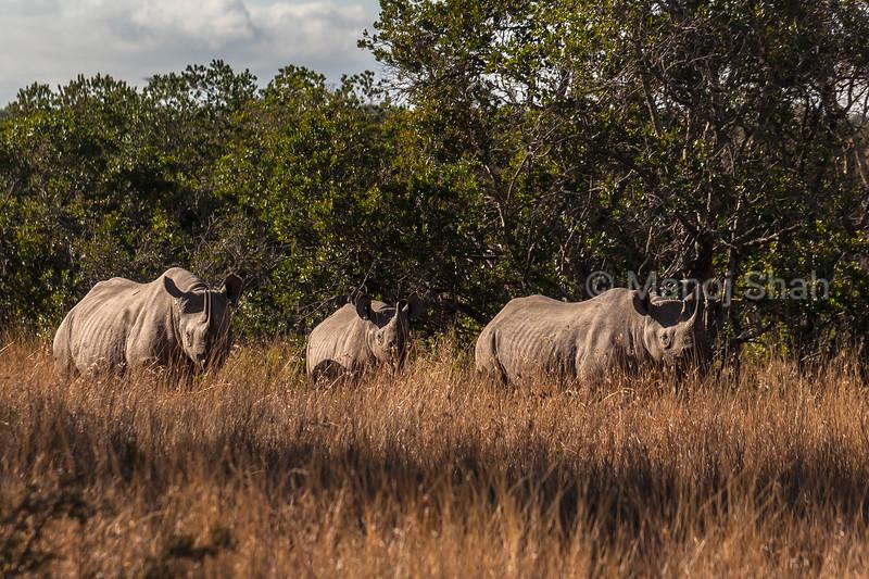 Black rhino family in Laikipia forest land.