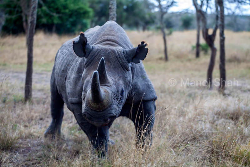 Baraka the Black rhino at Ol Pejeta conservancy