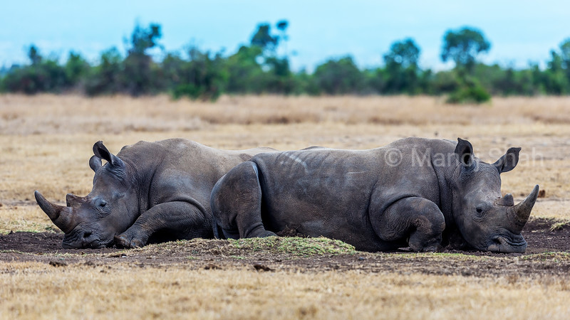 Two White rhinocerous lying down for rest in mid day in Laikipia savanna.