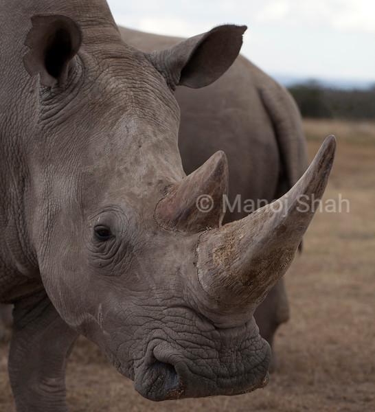 White rhino grazing in laikipia.