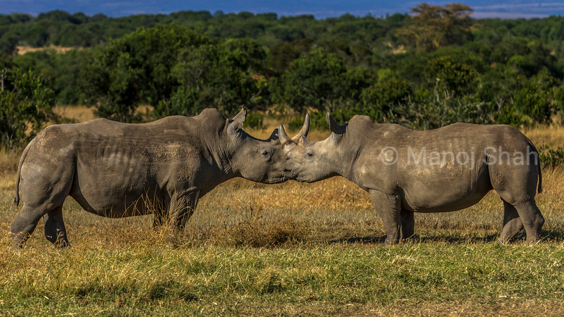 white rhinos in a mating ritual in laikipia savanna. They seem to be 'kissing' each other!