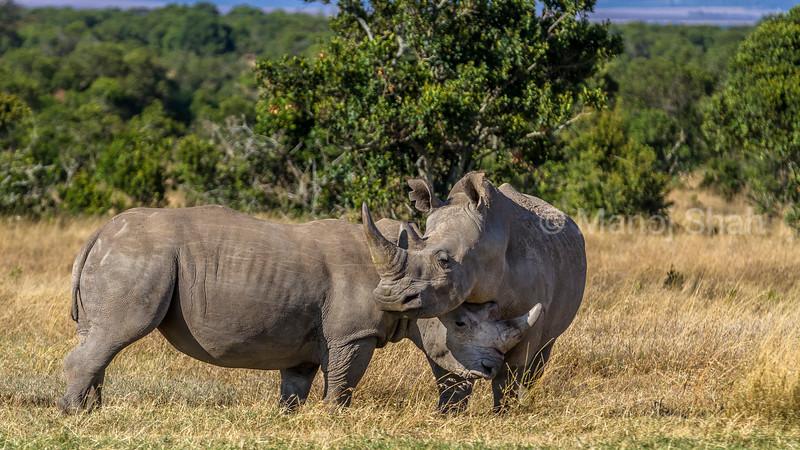 Start of a matial ritual with white rhinos in Laikipia savanna