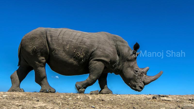 White rhinocerous walking in Laikipia