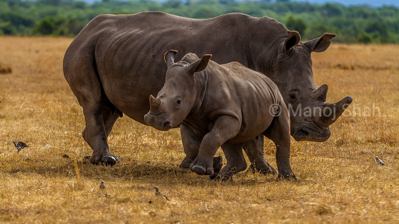 White Rhinoceros mother and baby grazing in Laikipia savanna with baby bursting for joy.
