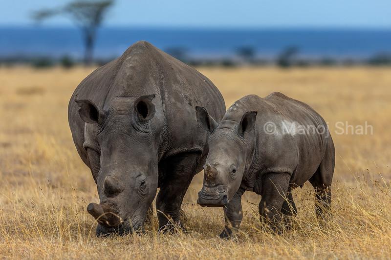White Rhinoceros and baby grazing in Laikipia savanna
