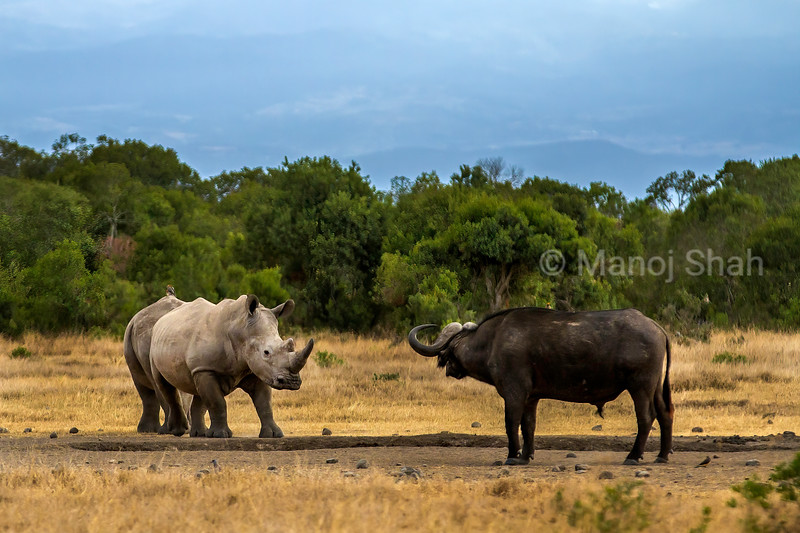 White rhino facing a buffalo in Laikipia, Kenya