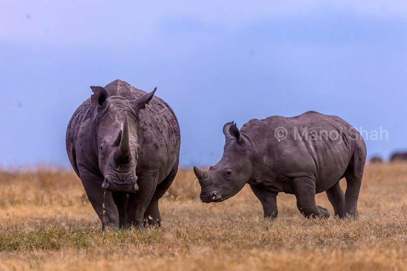 White rhino with young grazing in the laikipia savanna.