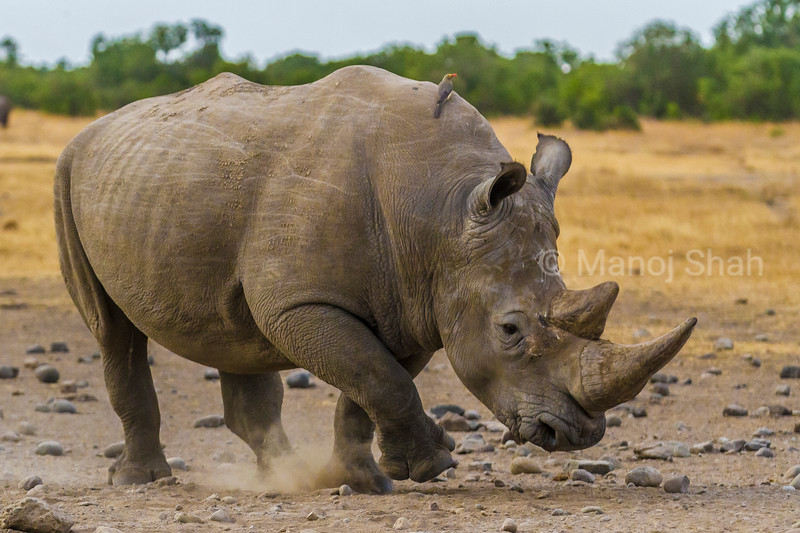 White rhino clears the stones with its foot in Laikipia savanna.