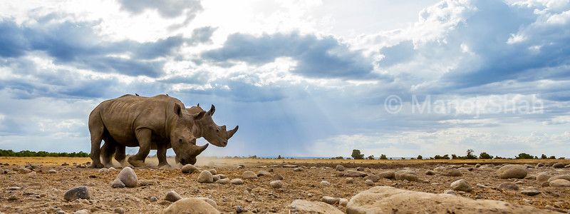 2 white Rhinocreous grazing in Laikipia savannah,