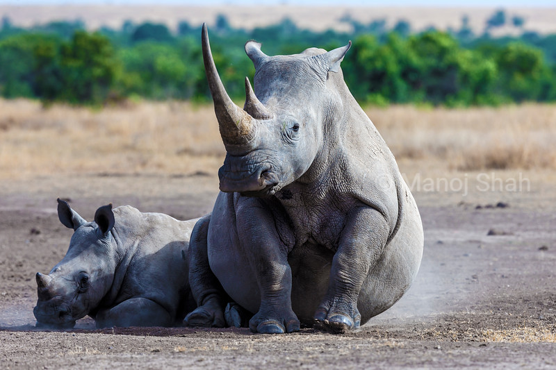 White rhino mother sitting down besided her calf in Laikipia savanna, Kenya