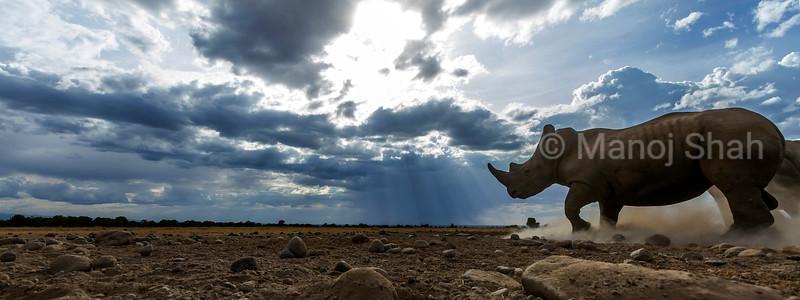 White Rhino running in Laikipia, Kenya