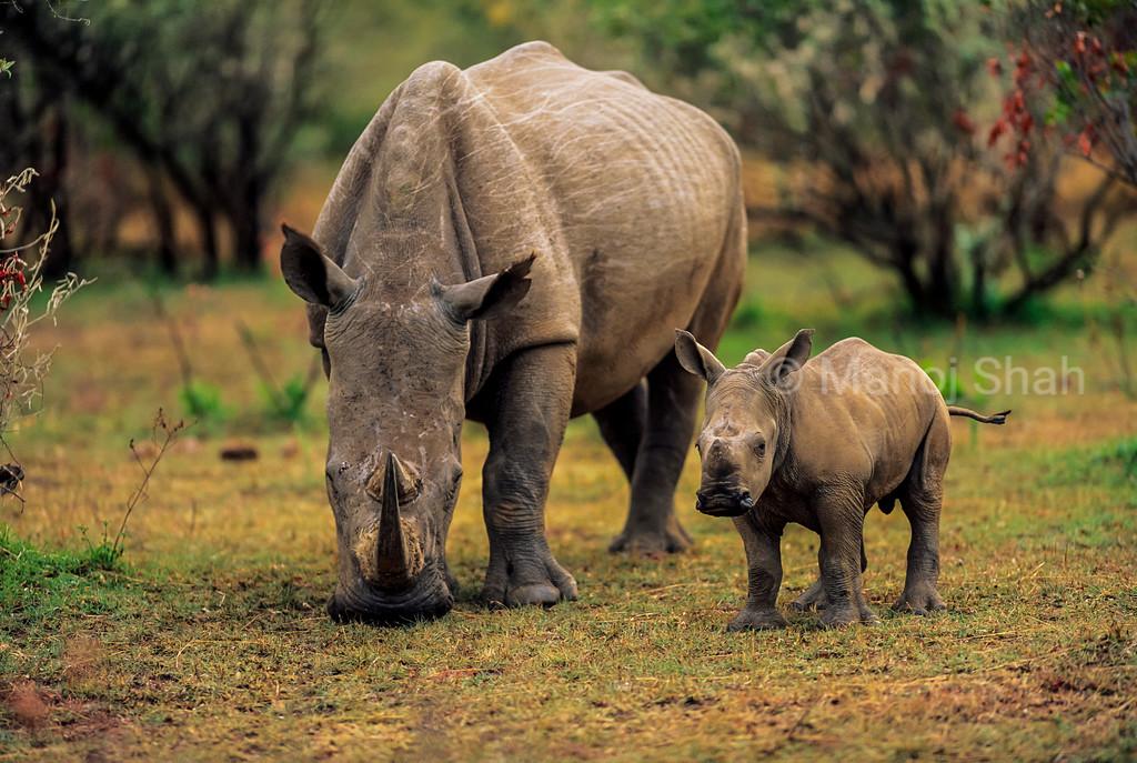 Rhinocerous mother grazing with baby in Lake Nakuru National Park.