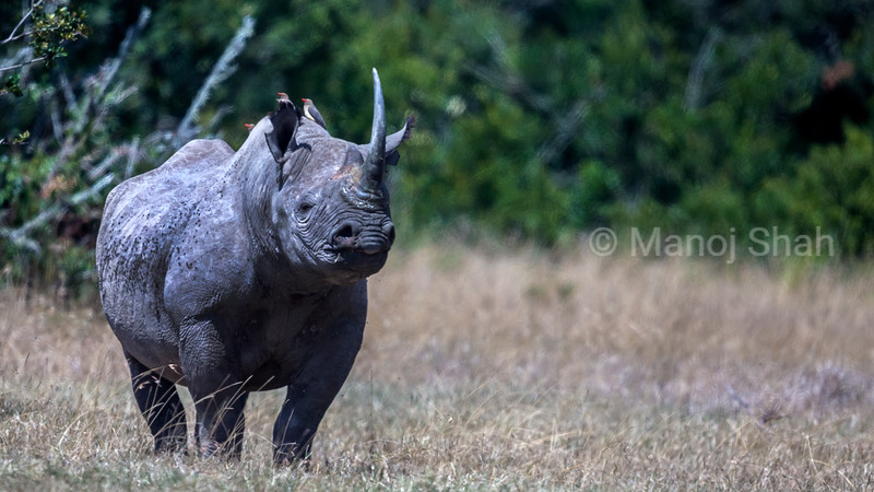 Black Rhinoceros alert in Laikipia