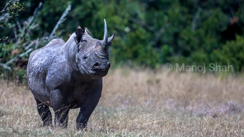 Black Rhinoceros alert in Laikipia