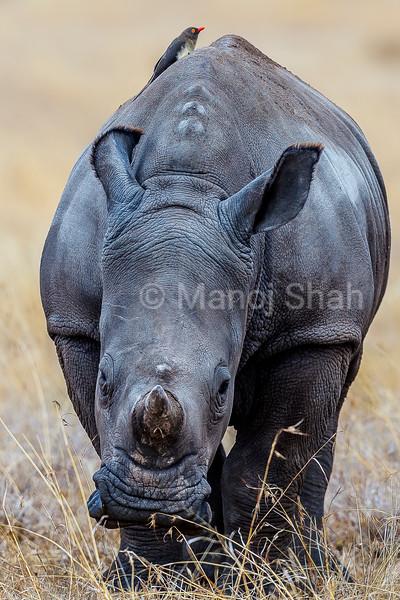 White Rhinoceros baby grazing in Laikipia savanna