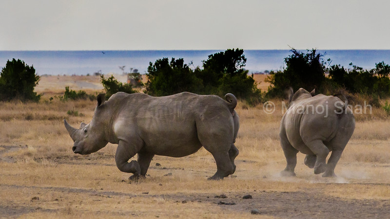 White rhino on the run in Laikipia, Kenya