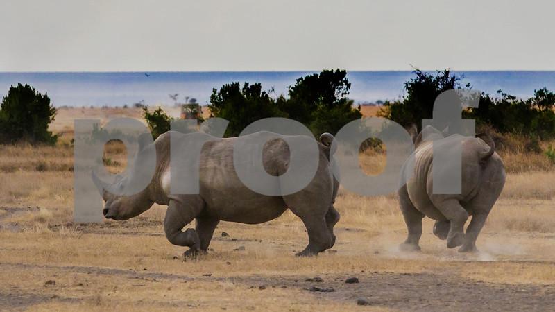 White rhino on the run in Laikipia, Kenya