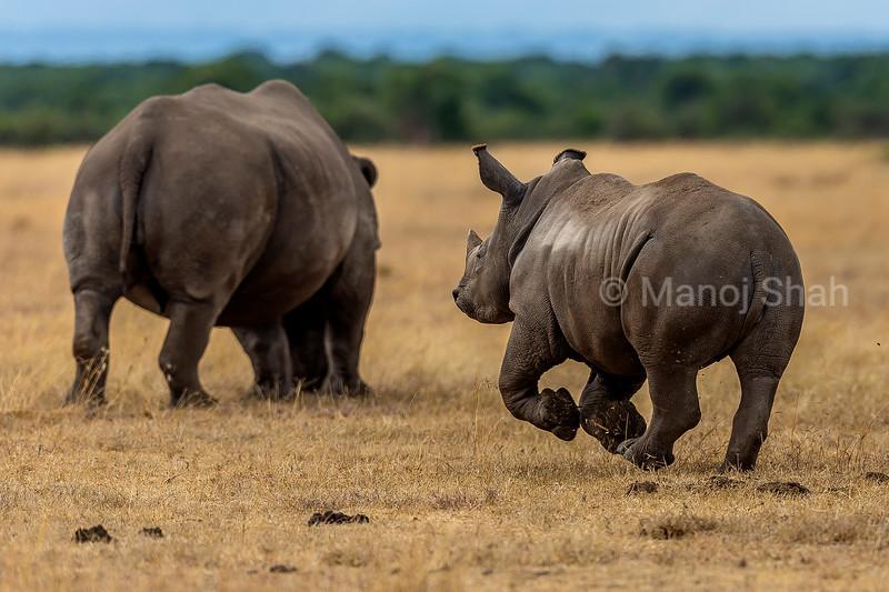 The rhino baby happily runs towards her mother in Laikipia savanna