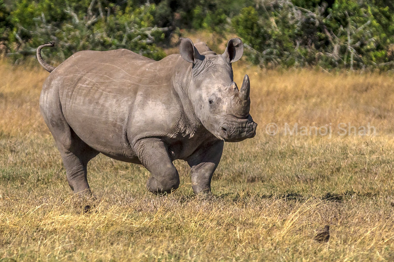In the middle of the mating ritual this young white rhino male gets aggressive and starts running around in laikipia sananna.