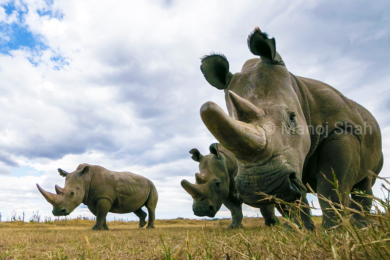 Northern and southern white Rhinos