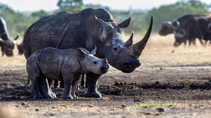 White rhino mother and baby at a salt lick in Laikipia.