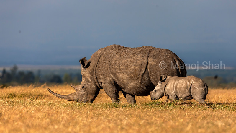 White rhino mother and baby grazing in Laikipia