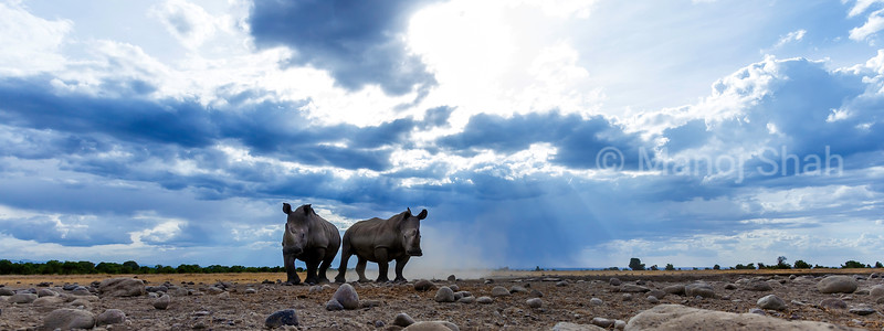 Two white rhinos in Laikipia savanna.