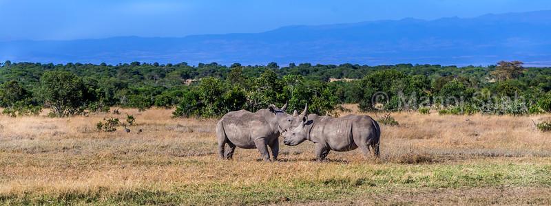Two white rhinos touching horns in Laikipia savanna, Kenya
