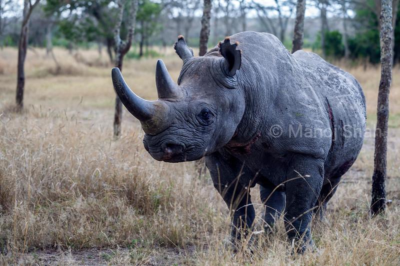 Baraka the Black rhinoat Ol Pejeta conservancy