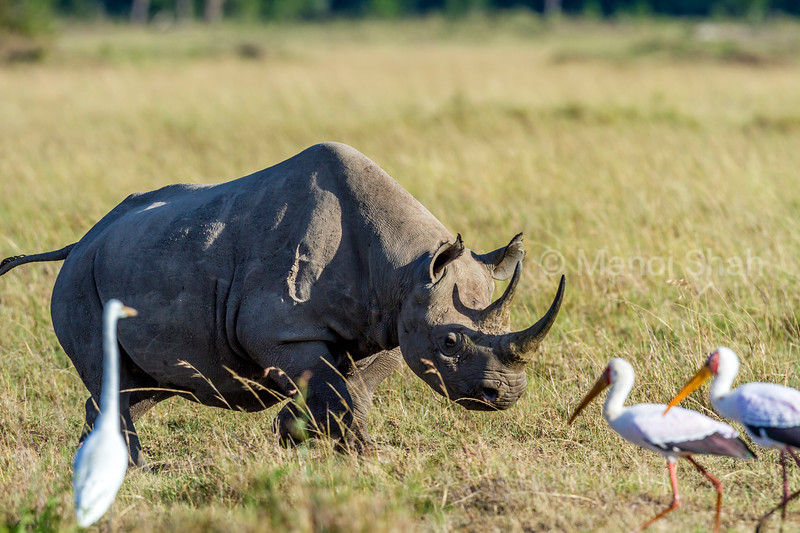 Black Rhino charging at yellow billed storks in Masai Mara.
