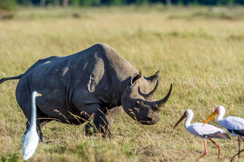 Black Rhino charging at yellow billed storks in Masai Mara.
