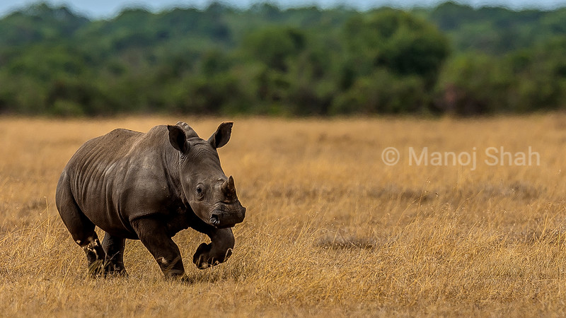 The rhino baby happily runs towards her mother in Laikipia savanna. Grazing a few meters away from the mother, the baby probably wanted milk from the mother on this hot and dry day. It was running for joy!