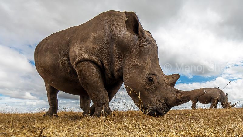 White Rhinoceros grazing in Laikipia savanna
